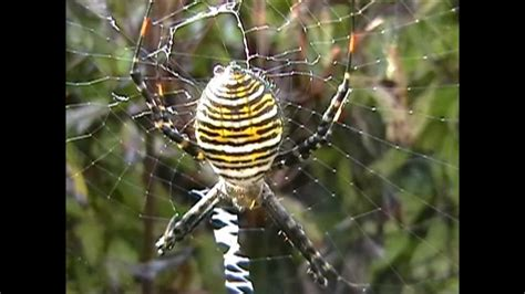 Hunting Banded Argiope Spiders - YouTube